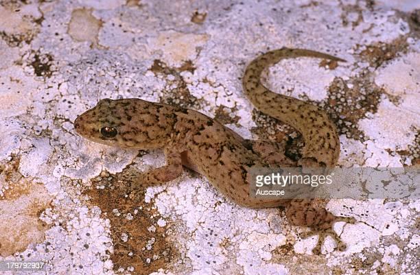 Alexander's marbled gecko, Christinus alexanderi, Nullarbor Plain near border, South Australia