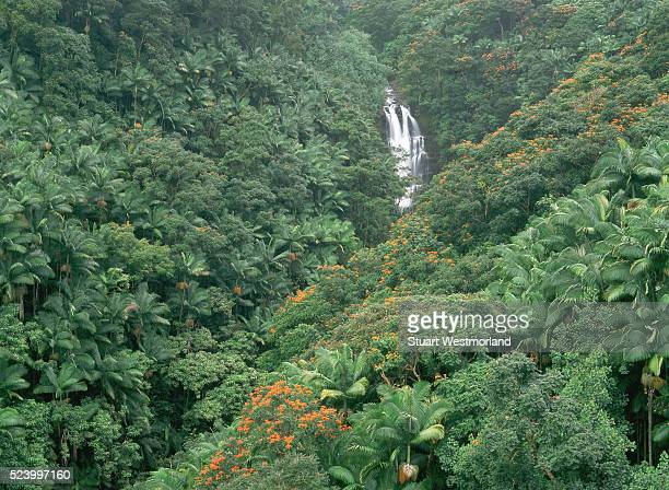 Alexandra palms African tulip trees grow around Nanue Falls in the tropical rainforest on Hamakua Coast Hawaii