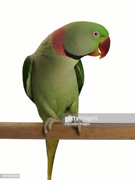 Alexandrine Parakeet / Alexandrian Parrot