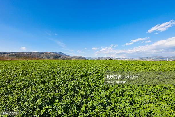 Alfalfa Field, Valpolicella