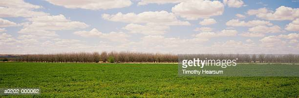 alfalfa field with pecan trees - timothy hearsum stock pictures, royalty-free photos & images