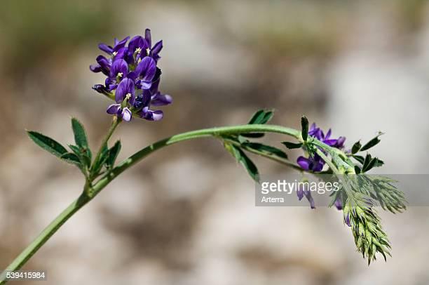 Alfalfa / Lucerne / Purple Medic / Trefoil close up