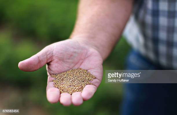 Alfalfa seeds are shown in an Alfalfa field in Brawley California on Thursday December 11 2014A tougher stance by China on imports of genetically...