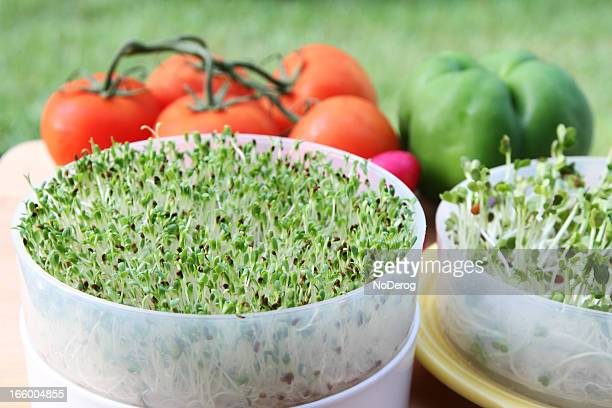 Alfalfa sprouts and vegetables