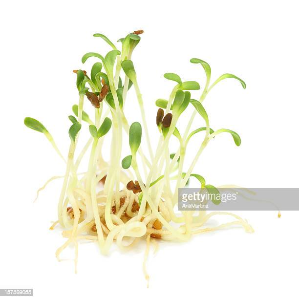 Alfalfa sprouts growing slowly