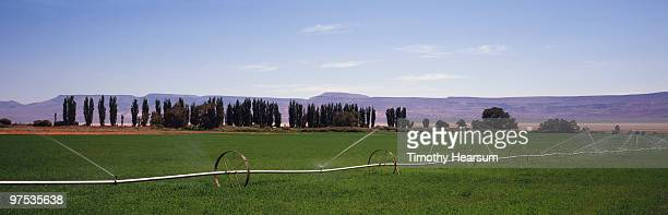 alfalfa with irrigation; poplars, mountains beyond - timothy hearsum stock-fotos und bilder