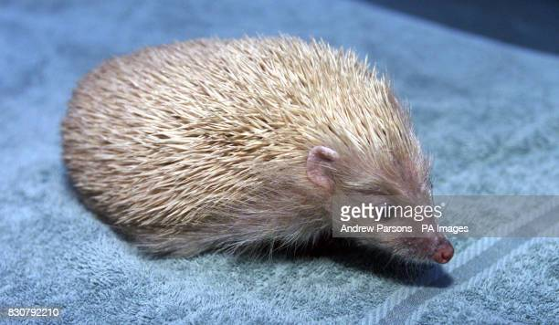 Alfie the blond hedgehog at the home in Cambridge of 12 year old Bryony Hall Alfie just one of a handful of blond hedgehogs to be found in Britain in...