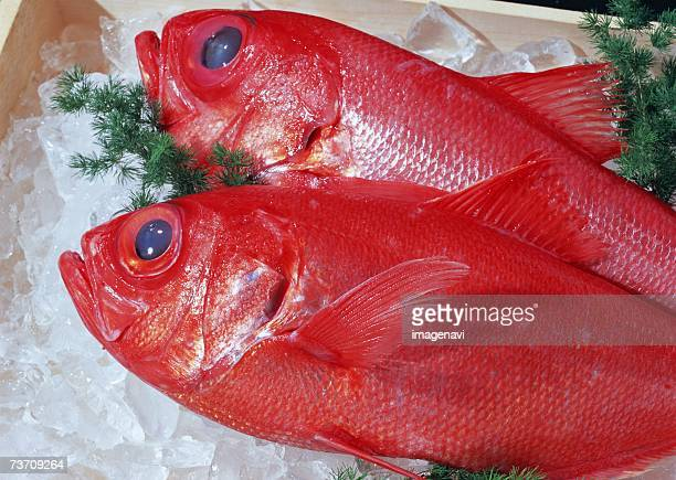 alfonsin - redfish stock photos and pictures