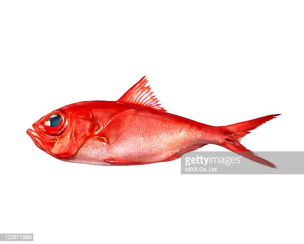 alfonsino - redfish stock photos and pictures