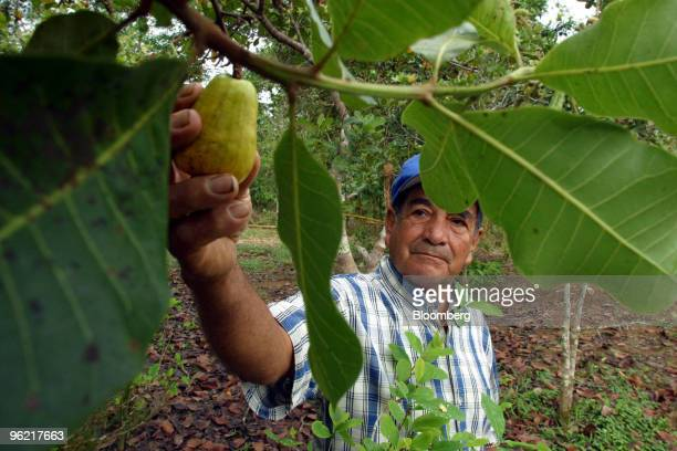 Alfonso Riascos 75 years old picks fruit from a cashew tree at his small farm just outside of Puerto Asis in the southern state of Putumayo Colombia...