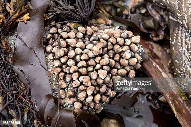 Algae and Littorina attached on a rock at Skipness bay of Kintyre peninsula in Scotland