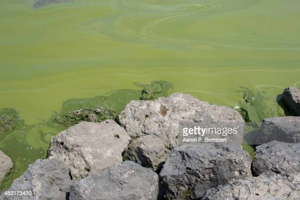 Algae coats rocks at Maumee Bay State Park August 4 2014 in Oregon Ohio Toledo Ohio area residents were once again able to drink tap water after a...