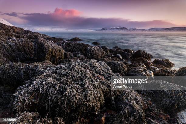Algae in frost at dawn on the shores of the Barents Sea