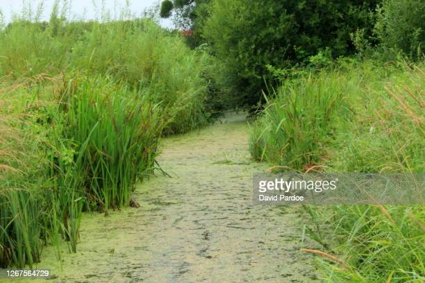 algal bloom - wales stock pictures, royalty-free photos & images