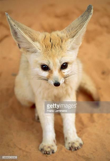 algeria, sahara, desert, fennec - fennec fox stock photos and pictures