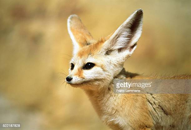 algeria, sahara, desert, fennek - fennec fox stock photos and pictures