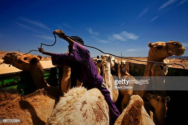 Algerian Arabs load camels for sale at the local camel market on April 14 2009 in Tamanaransset Southern Algeria The Camel trade used to be a Tuareg...