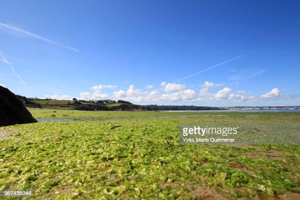 Algues vertes polluant la plage de Tresmalouen le 29 Aout 2011 dans le departement du Finistere, France. La Cour de Justice europeenne condamne la...