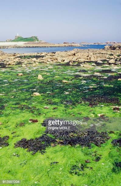 Algues vertes sur la plage de Port-Blanc a maree basse, a Penvenan, dans les Cotes-d'Armor, France.