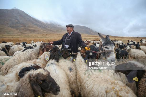 Ali Beduk a stockbreeder is seen with a donkey and sheep herd ahead of the winter season at Abali neighbourhood of foothills of Mountain Artos in Van...