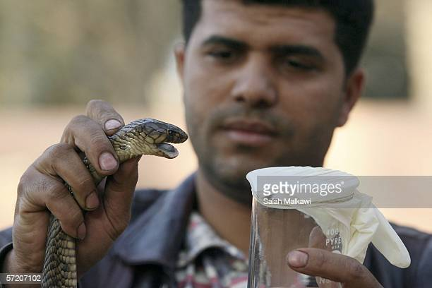 Ali one of the sons of Nasr Tolba extarcts the poison from a snake at his father's home 20km away from Cairo on March 25 2006 in Abu Rawwash Egypt...