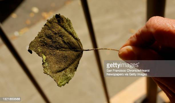 Alice Rogers displays a soot covered leaf she found near her South Park home San Francisco, Ca., on Tues. August 29, 2017. Rogers a South Park...