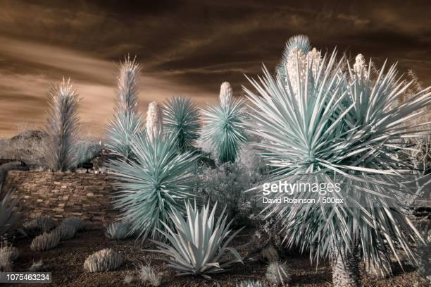 aliens - argyroxiphium sandwicense - fotografias e filmes do acervo