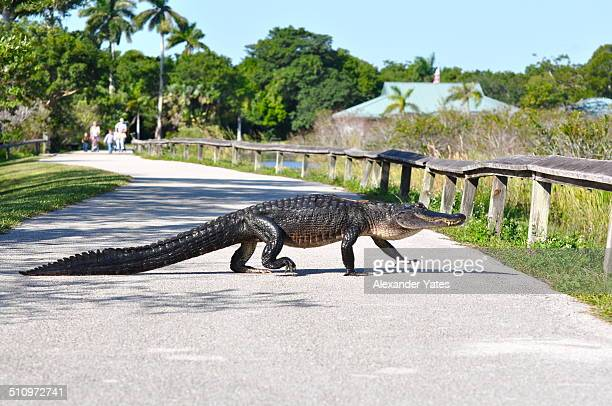 Aligator crossing in front of family
