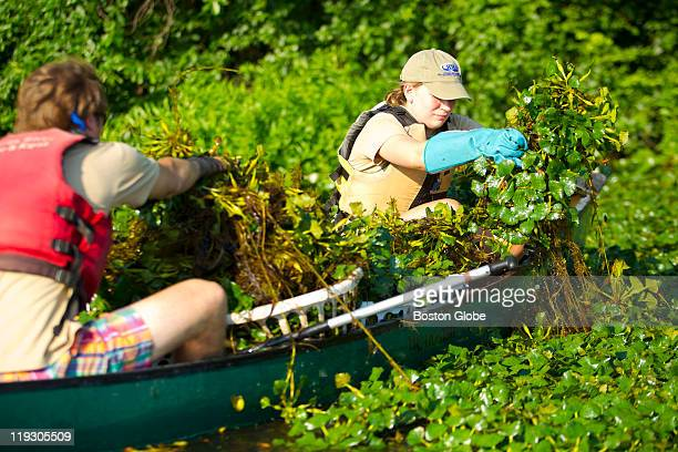 Alison Bennet of Weston and Avery Hunt , of Cambridge, both interns for the Charles River Watershed Association, pulled water chestnuts from the...