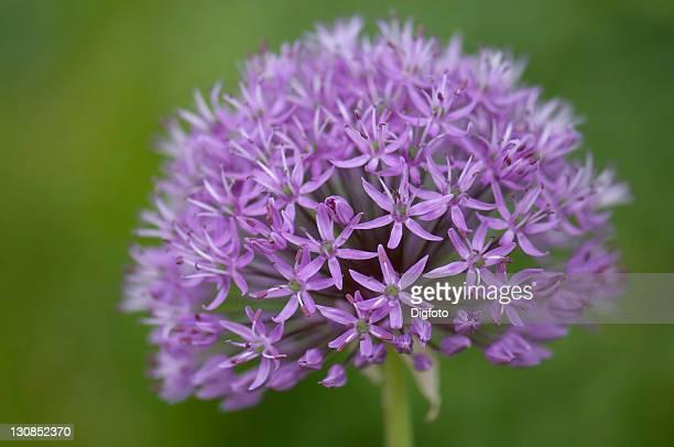 Alium blossom (Allium)
