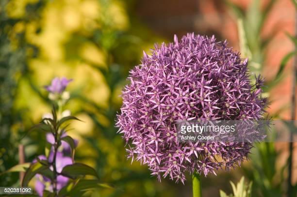 Alium Flower at Holehird Gardens in England