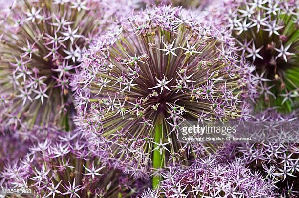 Alium flowers