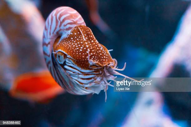 alive nautilus swimming - liyao xie stock pictures, royalty-free photos & images