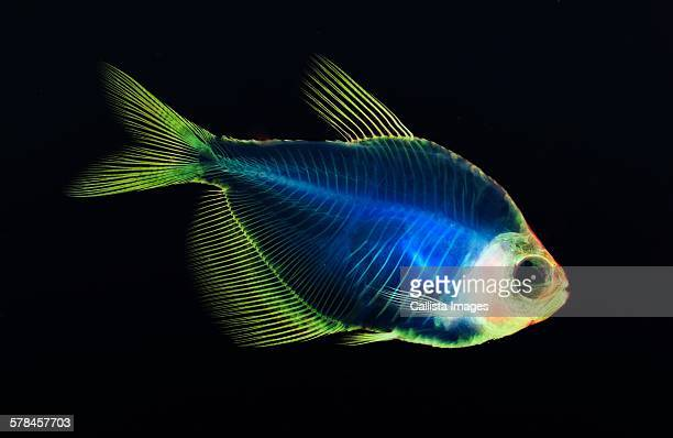 alizarin bone stain anatomical fish skeleton preparation of a white finned tetra - fish skeleton stock photos and pictures