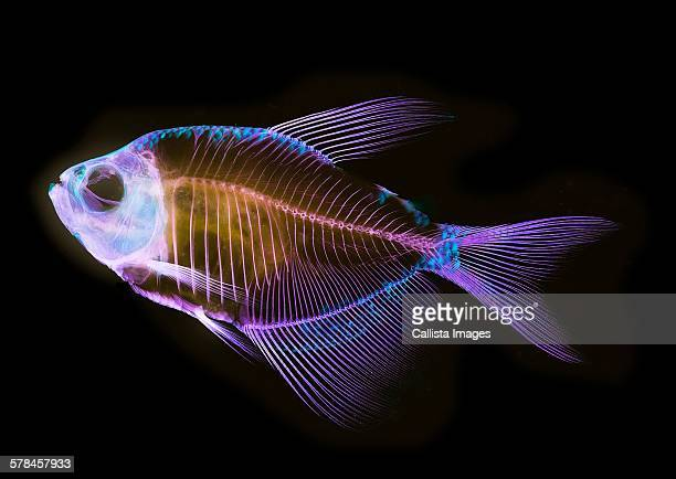 Alizarin bone stain anatomical fish skeleton preparation of a white finned tetra