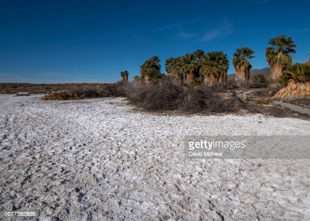 Alkaline soil surrounds the San Andreas Oasis one of the numerous native palm groves that are fed only by water pushed to the surface by underground...