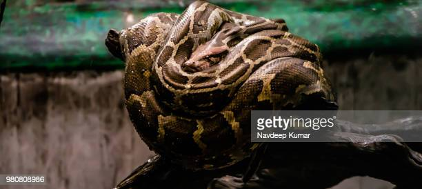 all coiled up - indian python stock pictures, royalty-free photos & images