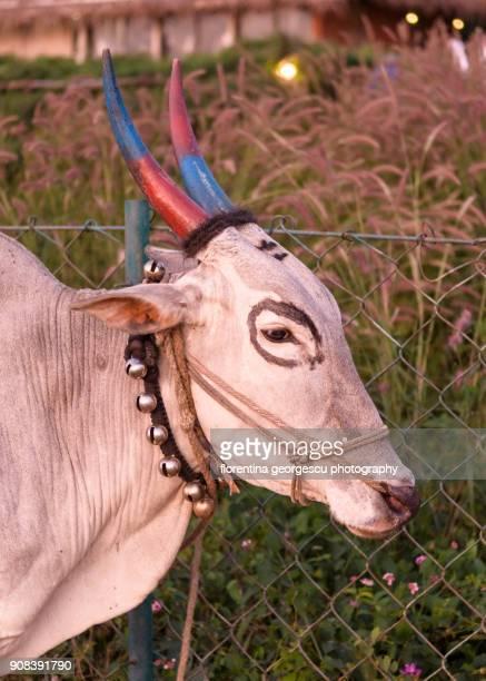 all dressed up oxen,  nagarhole national park, karnataka, india - ox cart fotografías e imágenes de stock