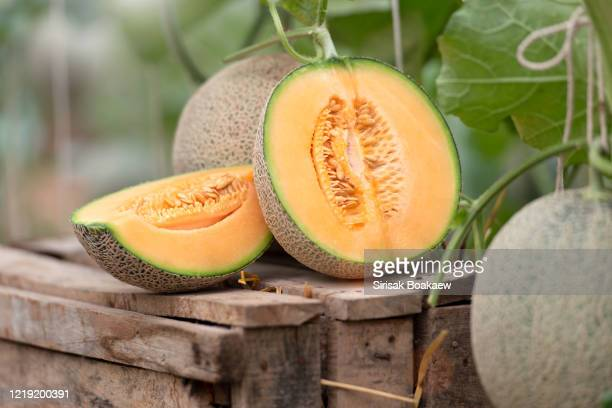 all japanese watermelons or cantaloupe - muskmelon stock pictures, royalty-free photos & images