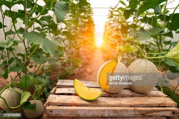 all japanese watermelons or cantaloupe - moschus kürbis stock-fotos und bilder