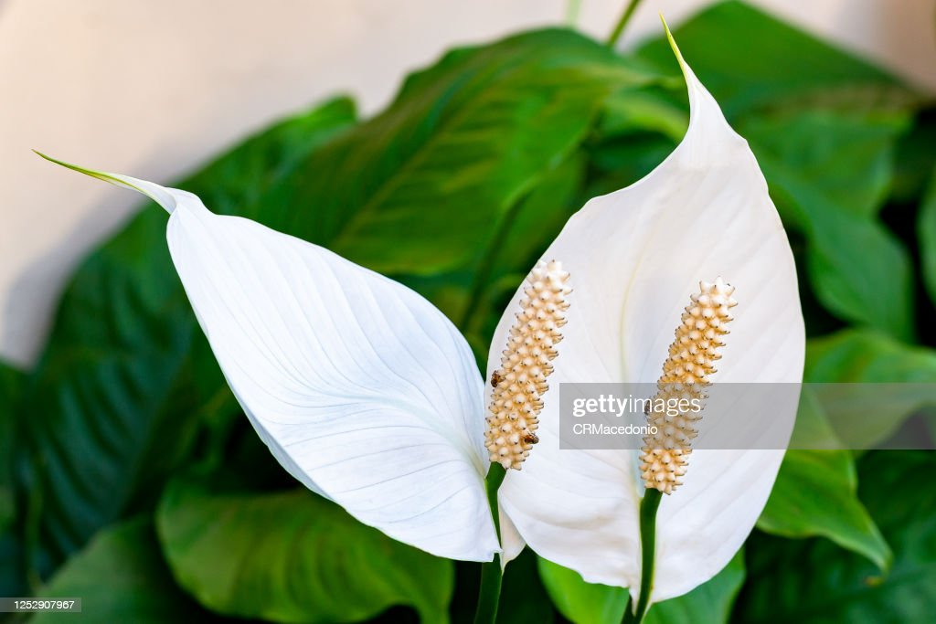 All the beauty of the white lily, cheers life and makes everything calm and beautiful. Bees love it. : Stock Photo