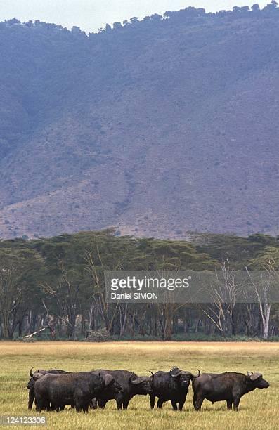 Allain Bougrain Dubourg visiting Ngorongoro Crater inTanzania on August 20 1992 Buffalos