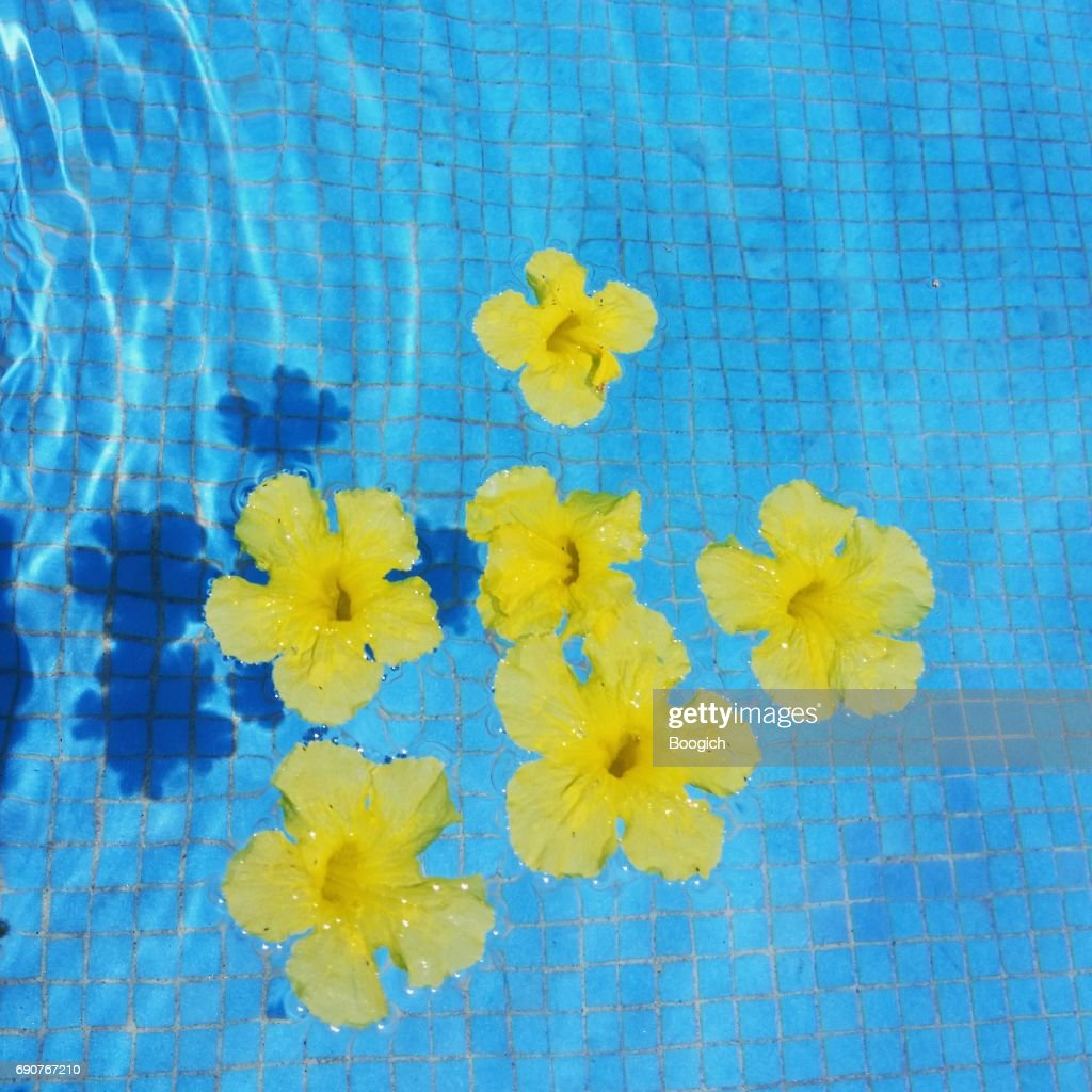 Allamanda cathartica tropical yellow flowers floating in blue pool allamanda cathartica tropical yellow flowers floating in blue pool stock photo mightylinksfo