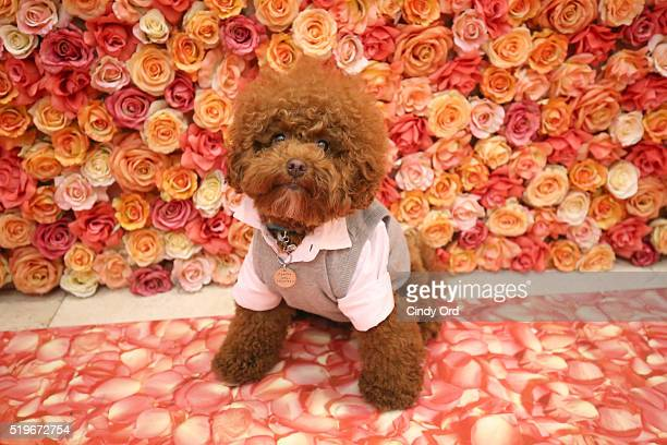 Allan Monteron's dog Agador at Birdcage Spring Launch Event At Lord Taylor on April 7 2016 in New York City