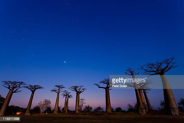 Allée des Baobabs by night