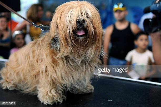 """Alleen, a female Lhasa Apso is presented to the jury on the catwalk during the """"Miss Canine Costa Rica 2008"""" in San Jose in July 19, 2008. In total,..."""