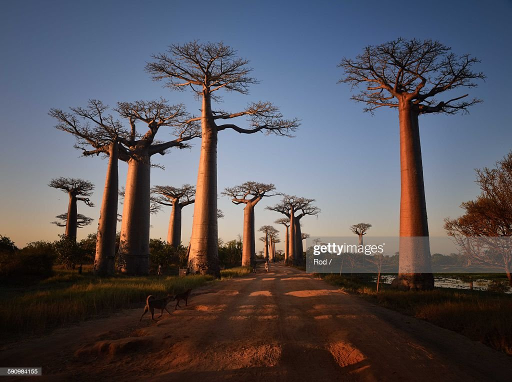 Allees des Baobabs : Stock Photo