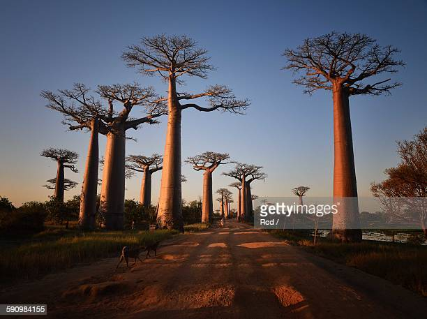 allees des baobabs - avenue stock pictures, royalty-free photos & images