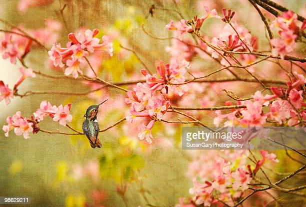 allen's hummingbird  and spring blossoms - escondido california stock photos and pictures