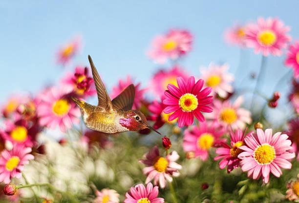 Allen's hummingbird in pink daisies